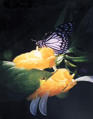 blackbutterfly.jpg